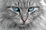 Blue Eyed Cat Postcard