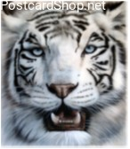 White Tiger 3D Postcard