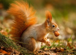 Red Squirrel 3D Postcard