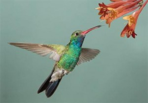 Hummingbird 3D Postcard