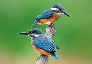 Kingfisher 3D magnet