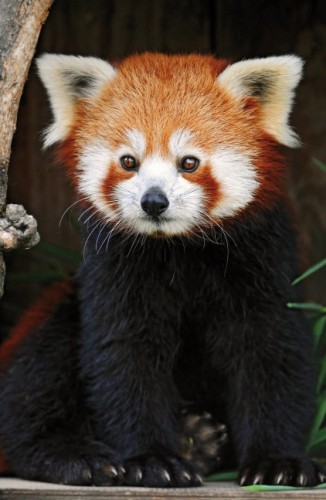 Posing red panda 2, CC BY-ND 2.0 Licence Photo by Tambako the Jaguar