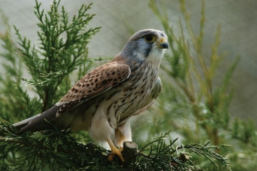 Kestrel by Peter G. Trimming (CC Licence)